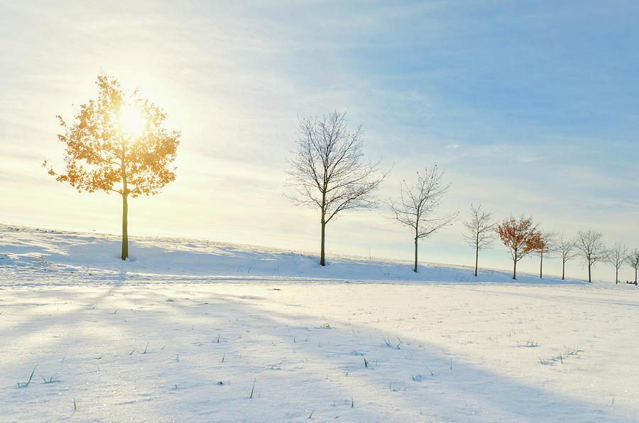 Young Oak In Winter Sun Photograph by Kerrick
