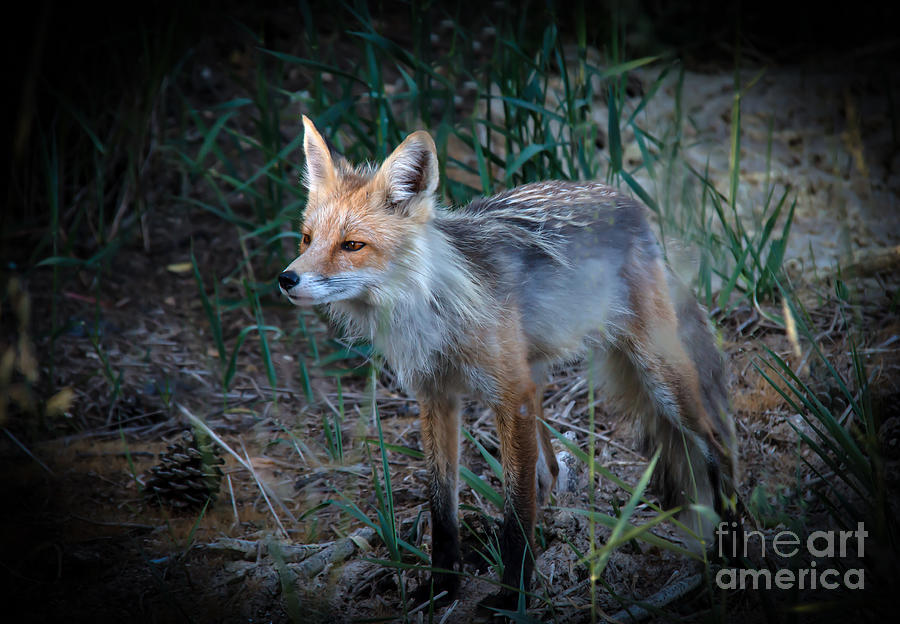 Vulpes Vulpes Photograph - Young Red Fox by Robert Bales