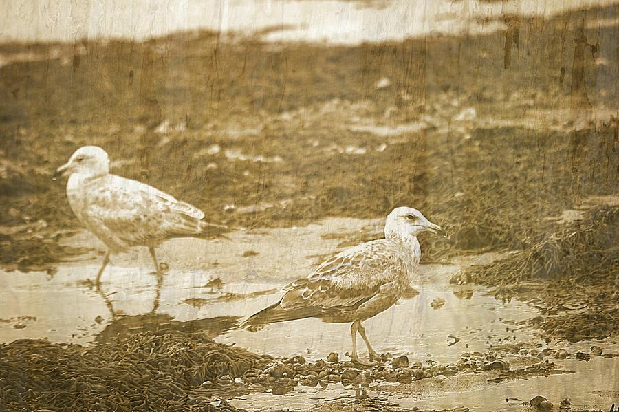 Cape Cod Print Photograph - Young Seagulls On Harwich Cape Cod Beach by Suzanne Powers