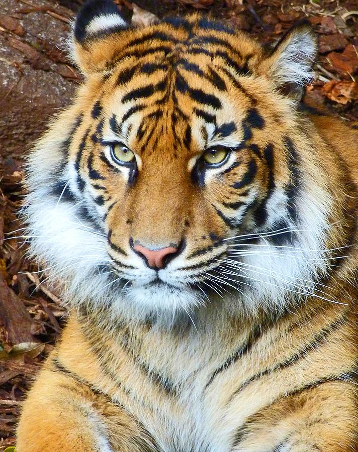 Sumatran Tiger Photograph - Young Sumatran Tiger by Margaret Saheed