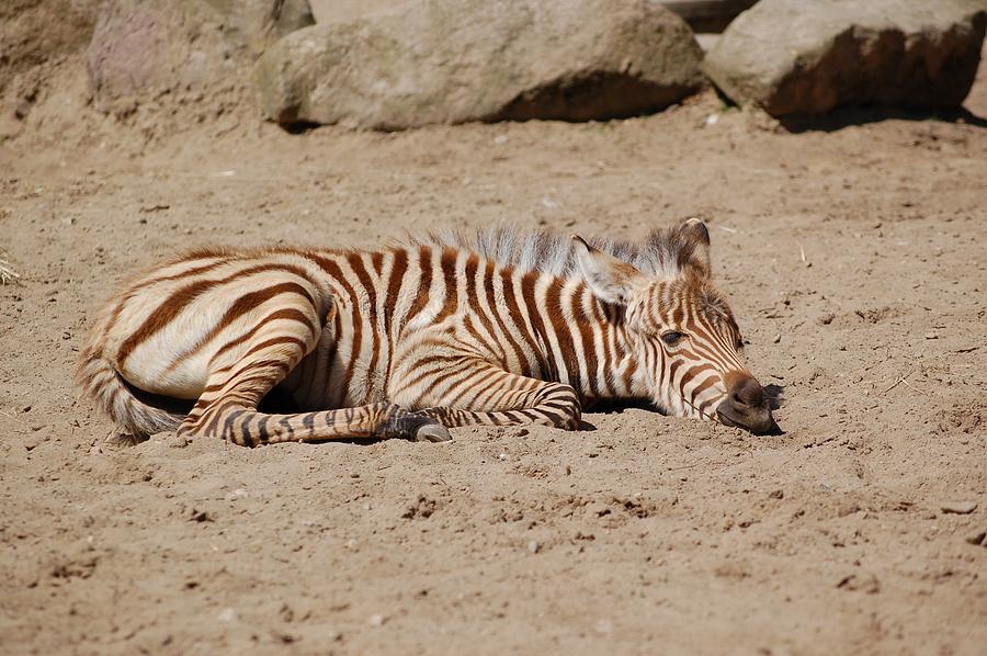 Young Zebra Photograph by FL collection
