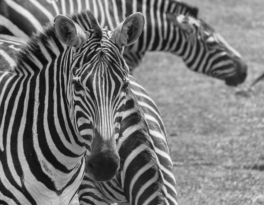 Young Zebra Photograph by Garvin Hunter