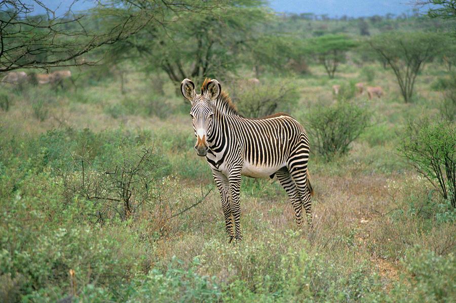 Young Zebra Looking At Camera Kenya Photograph by Animal ...