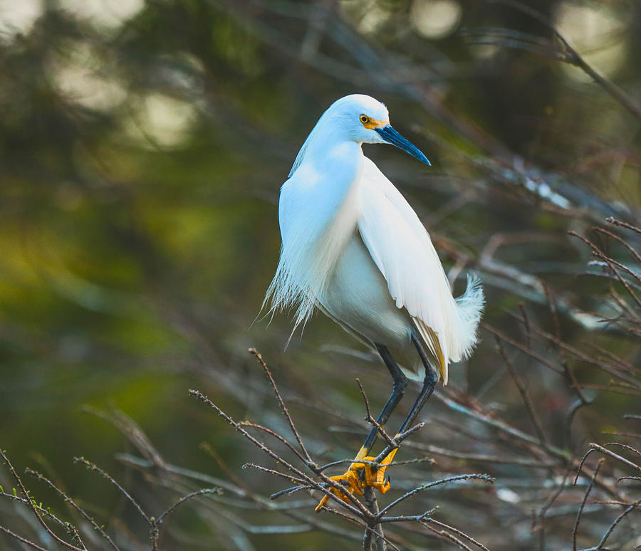Snowy Egret Photograph - Your Nest Or Mine by Christina Manassa