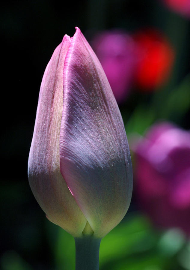 Tulip Photograph - Youth And Beauty by Rona Black