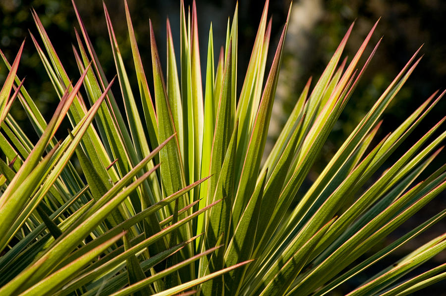 Botanical Photograph - Yucca 1 by Frank Tozier
