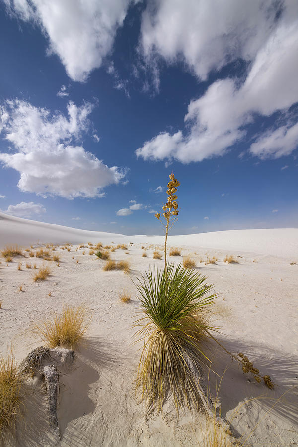 Yucca Growing On Dune In White Sands N Photograph by
