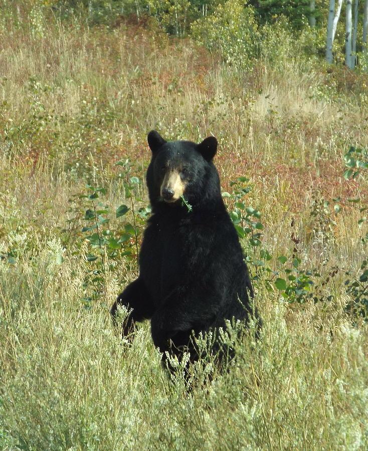 Bear Photograph - Yukon Black Bear by Barbara Von Pagel
