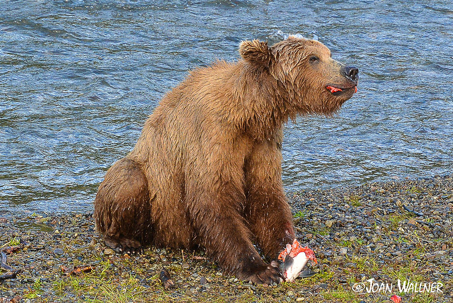 Alaska Photograph - Yummy Salmon by Joan Wallner