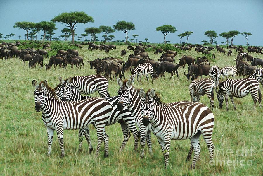 Mp Photograph - Zebra And Wildebeest Grazing Masai Mara by Yva Momatiuk and John Eastcott