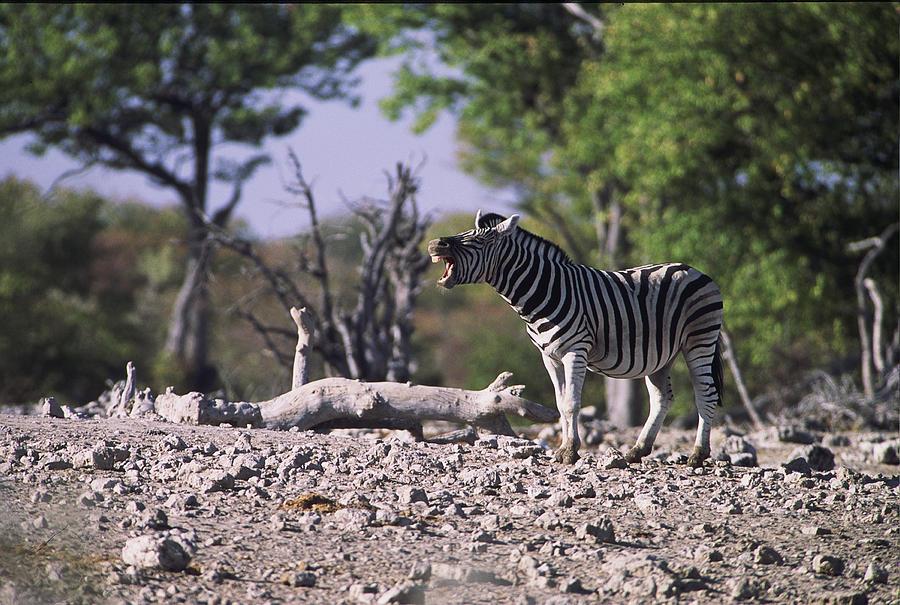 Zebra Photograph - Zebra Braying by Stefan Carpenter