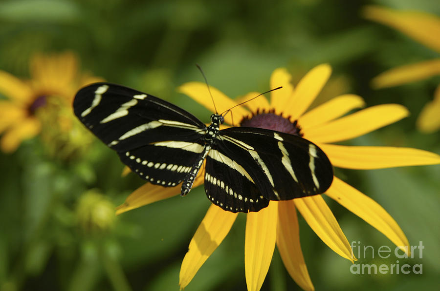 Butterfly Photograph - Zebra Butterfly by Anthony Sacco