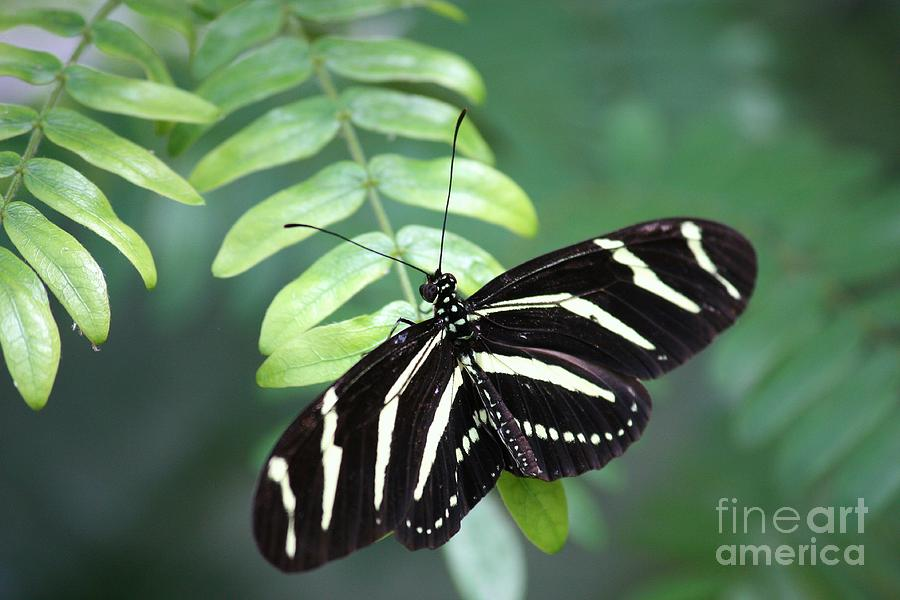 Butterfly Photograph - Zebra Butterfly by Carol Groenen