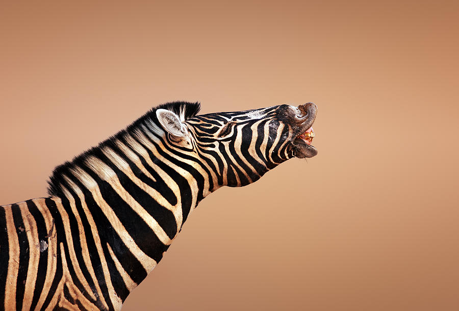 Zebra Photograph - Zebra Calling by Johan Swanepoel