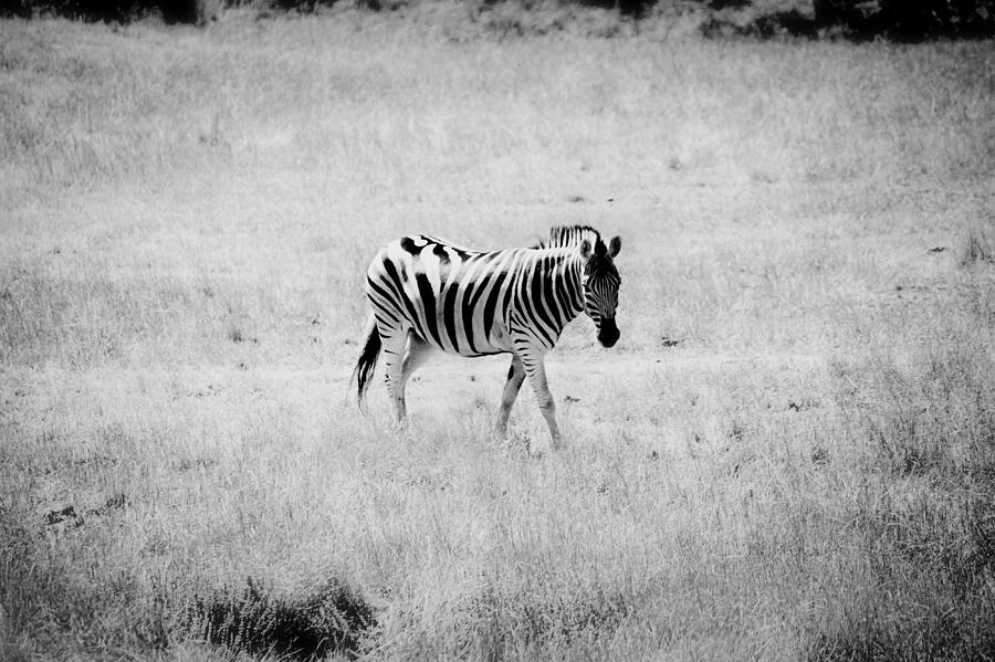 Zebra Photograph - Zebra Explorer by Melanie Lankford Photography