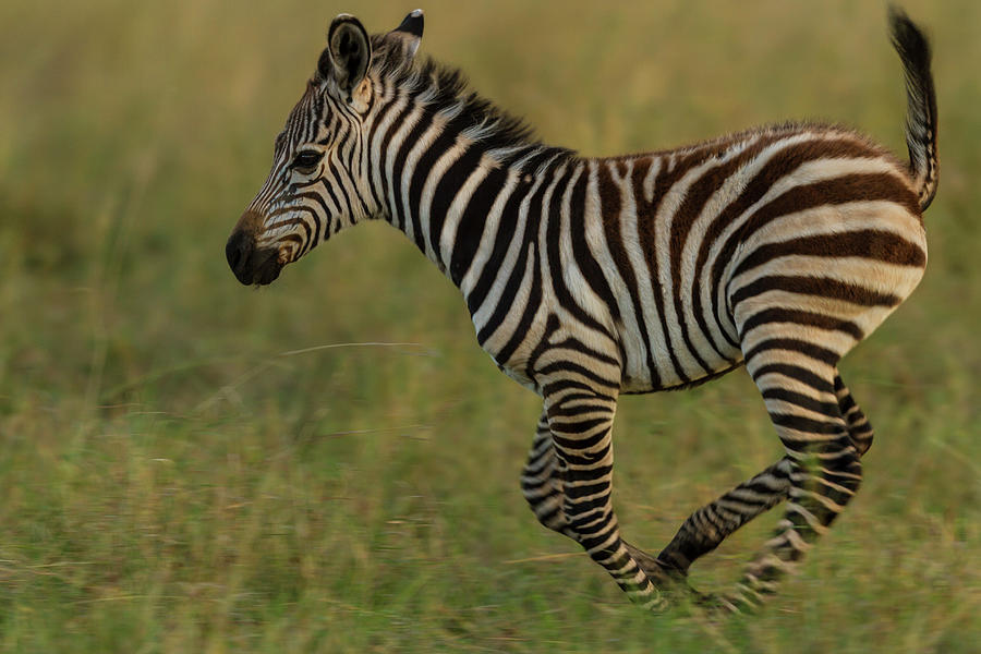 Zebra Foal Running For Joy Photograph by Manoj Shah