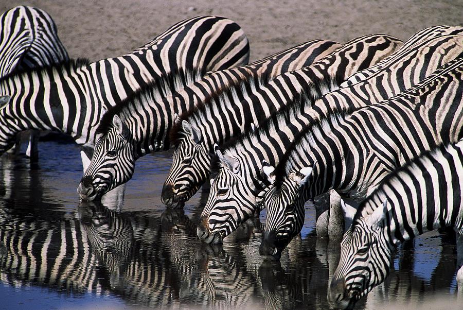 Zebra Photograph - Zebra Line by Stefan Carpenter