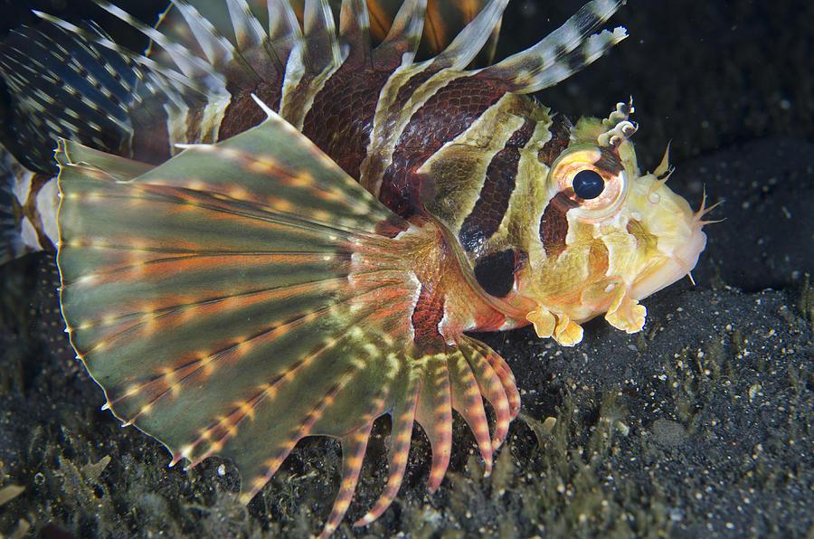 Zebra Lionfish Lembeh Straits Photograph by Colin Marshall