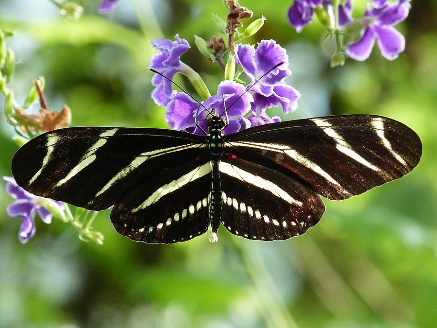 Butterfly Photograph - Zebra Longwing by Krista Keck