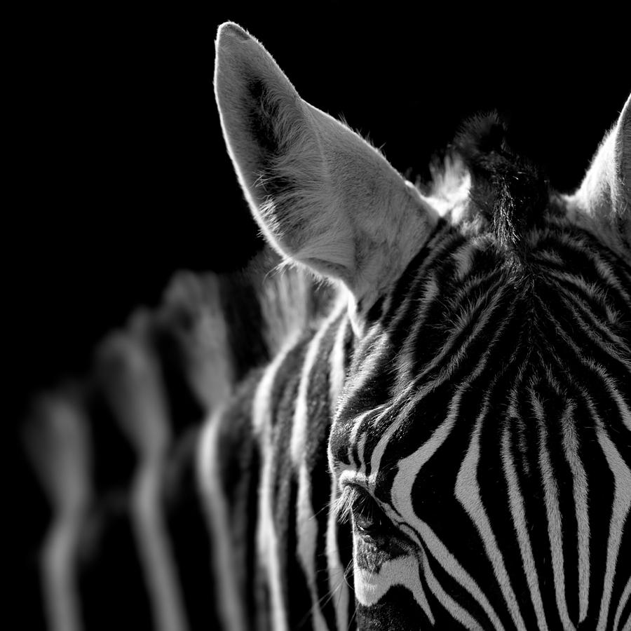 Zebra Photograph - Portrait of Zebra in black and white by Lukas Holas