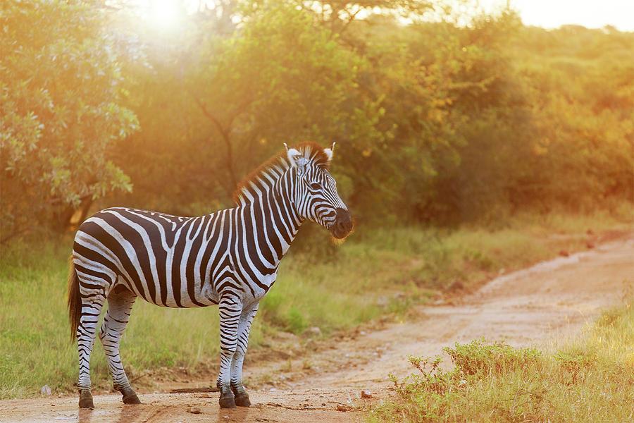 Zebra Photograph by Luoman