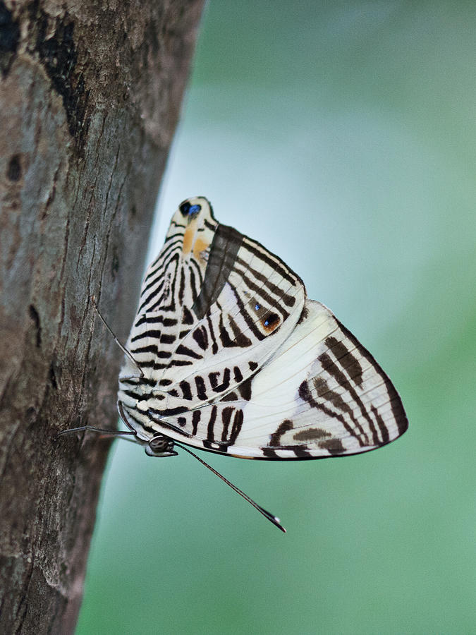 Insect Photograph - Zebra Mosiac Butterfly by Zoe Ferrie