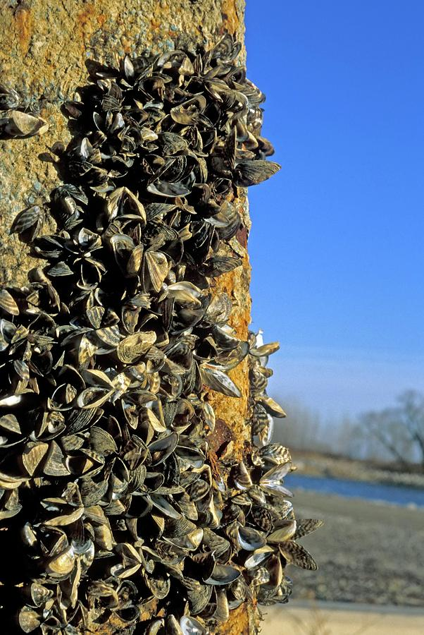 Animal Photograph - Zebra Mussels by Jim West