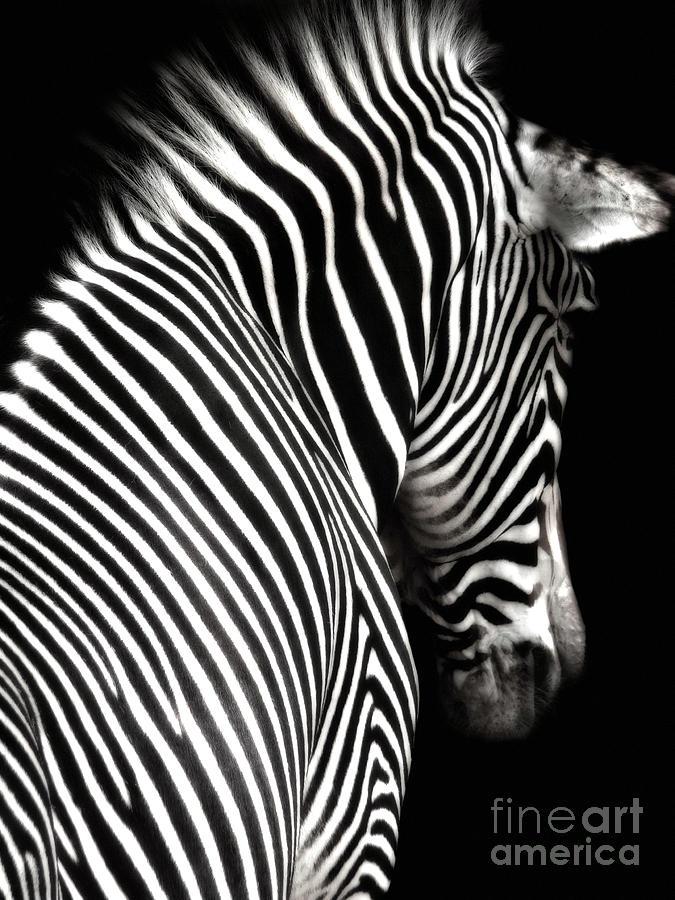 Zebra Photograph - Zebra On Black by Elle Arden Walby