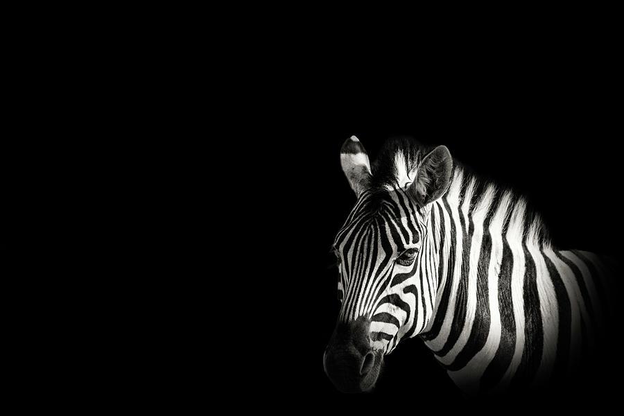 Zebra Portrait In Black Background Photograph by George Pachantouris