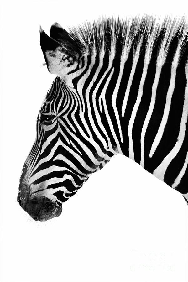 Zebra face profile - photo#17