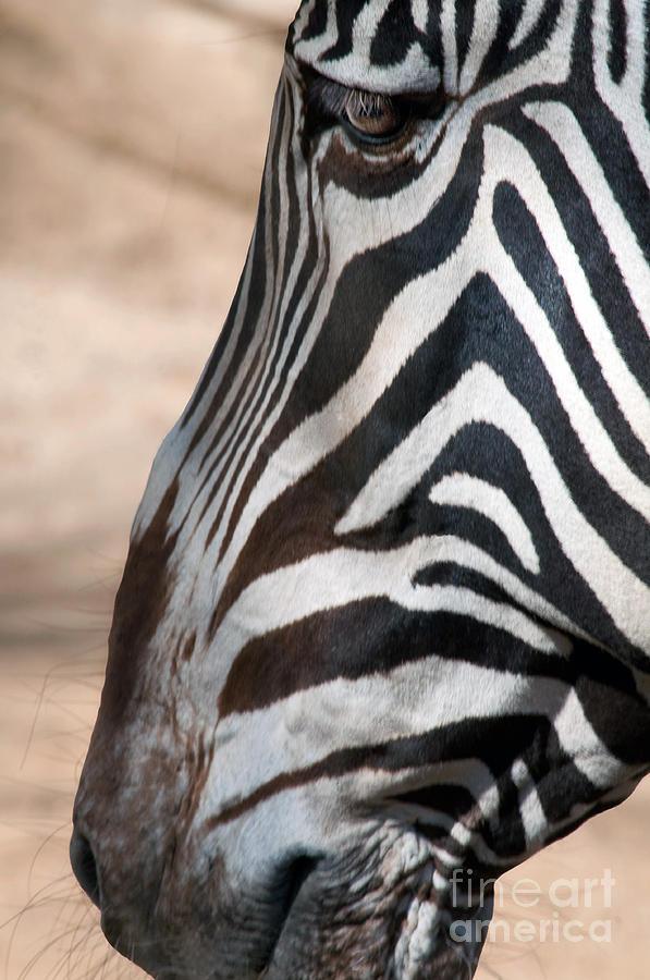 Zebra Photograph - Zebra Profile by Dan Holm