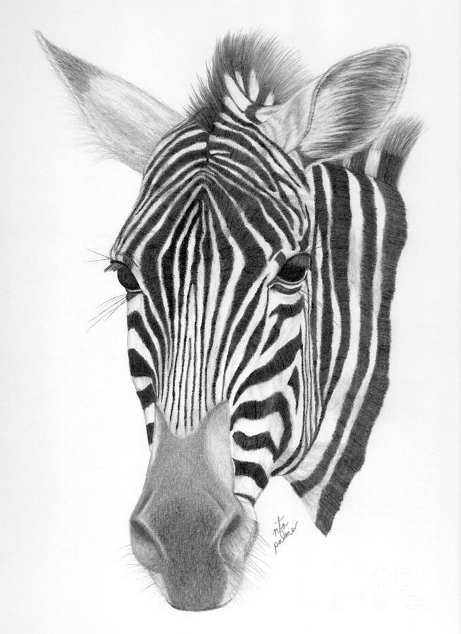 Zebra Drawing Zebra Drawing by Rita ...