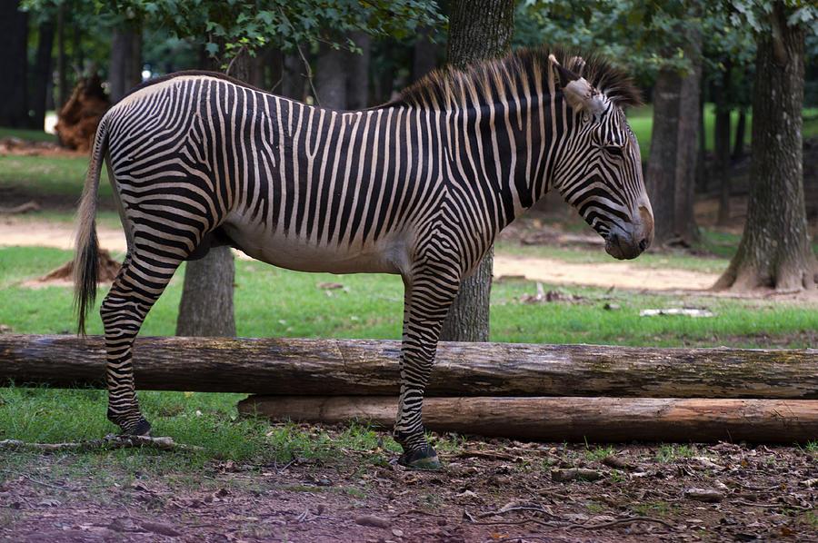 Zebra Side Profile Photograph by Chris Flees