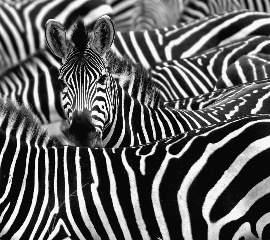 Zebra Surrounded With Black And White Photograph by Chantal