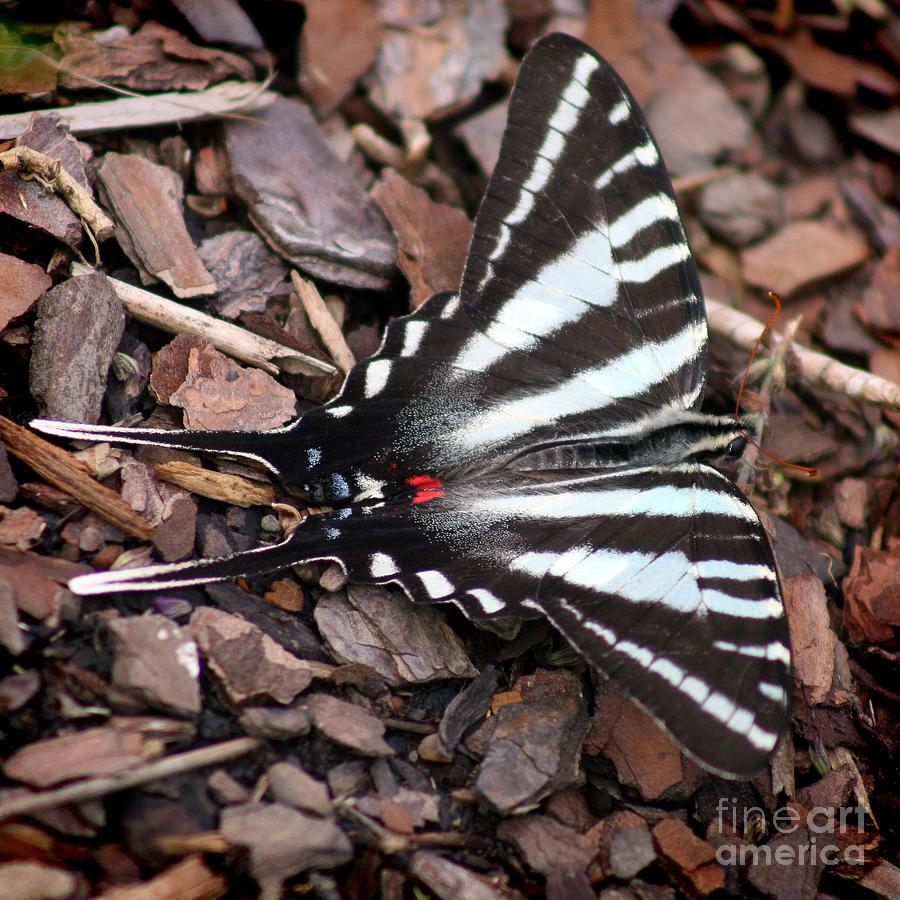 Zebra Photograph - Zebra Swallowtail Butterfly Square by Karen Adams