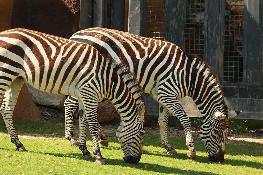 Nature Photograph - Zebra by Tinjoe Mbugus