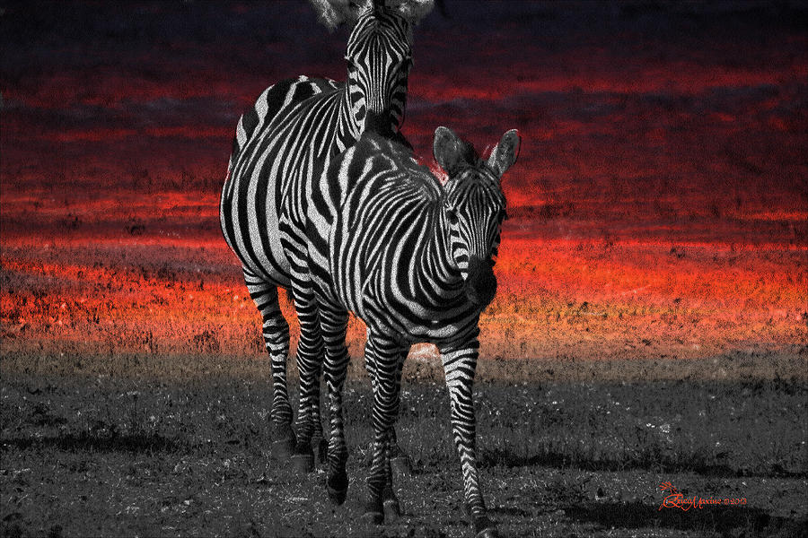 Zebra Photograph - Zebra Train - Featured In Nature Photography - Wildlife And A Place For All Groups by EricaMaxine  Price