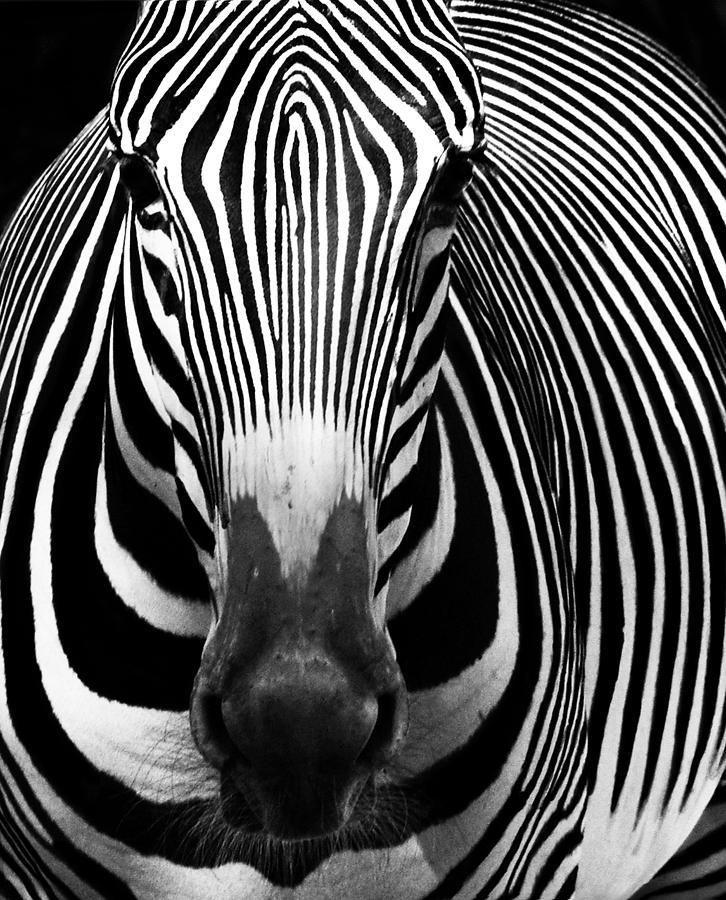 Zebra Photograph - Zebra by Vince  Risner