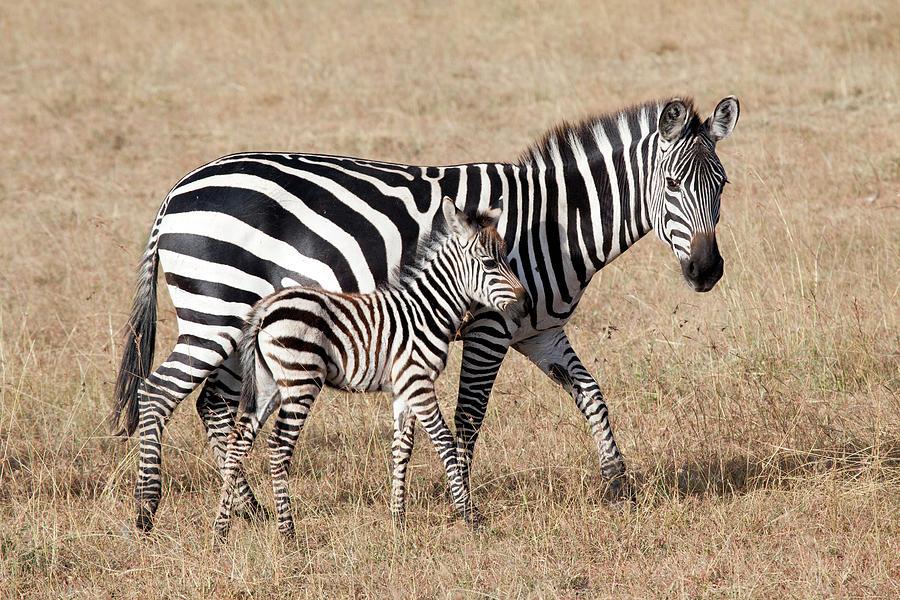 Zebra With Young Foal, Masai Mara Photograph by Angelika