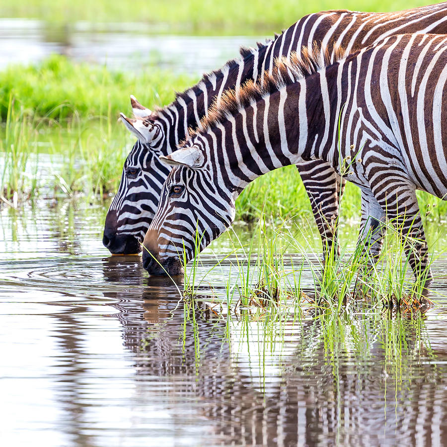Zebras Are Drinking Water Photograph by 1001slide