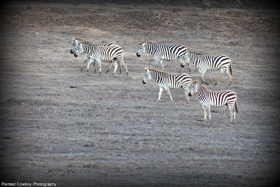 Ocean Photograph - Zebras by Daniel Jakus