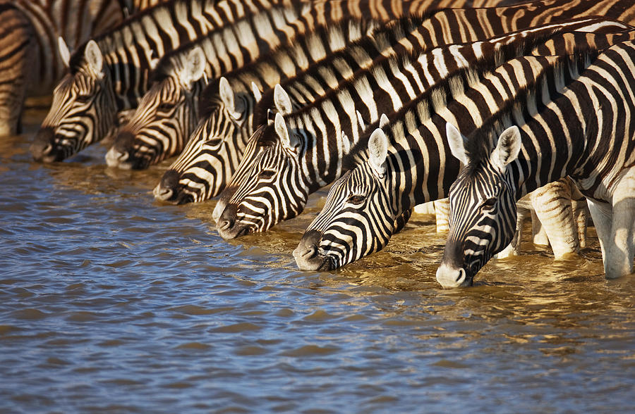 Wild Photograph - Zebras Drinking by Johan Swanepoel