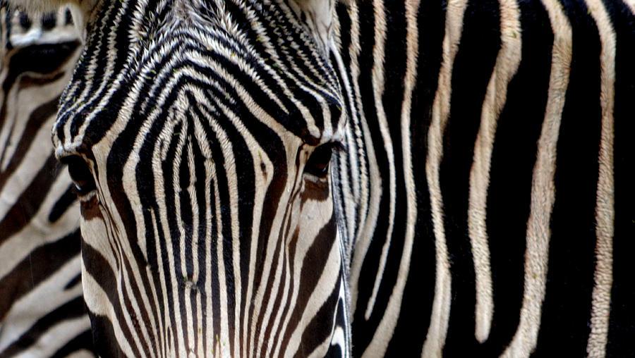 Zebra Photograph - Zebras Face To Face by Nadalyn Larsen