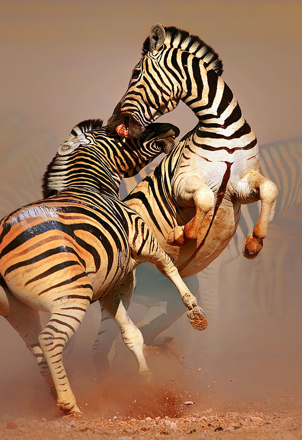 Wild Photograph - Zebras Fighting by Johan Swanepoel