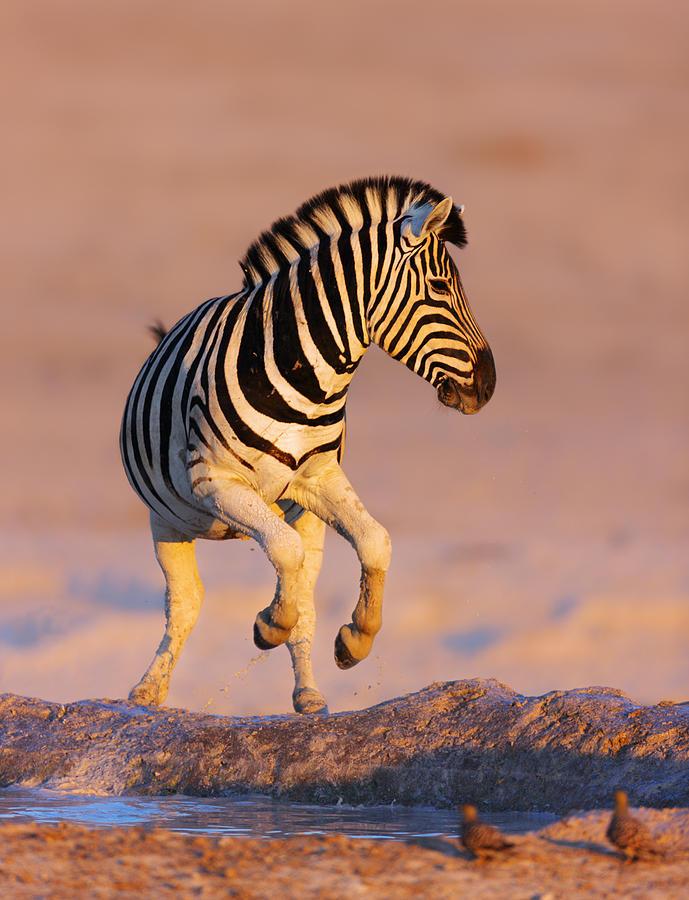 Wild Photograph - Zebras Jump From Waterhole by Johan Swanepoel