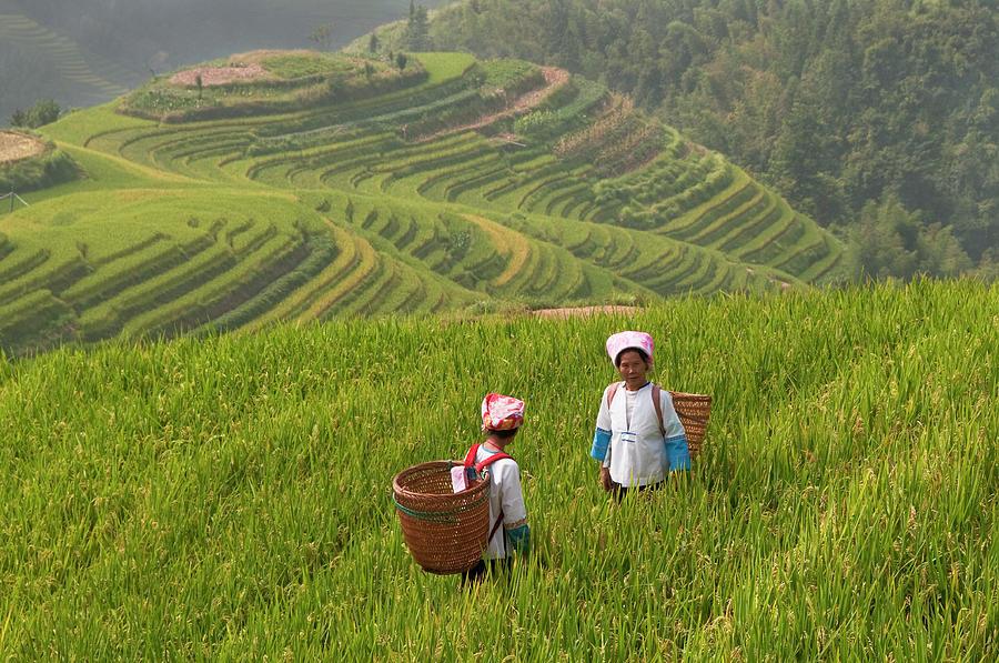 Zhuang Minority Women Walk Through Rice Photograph by Diana Mayfield