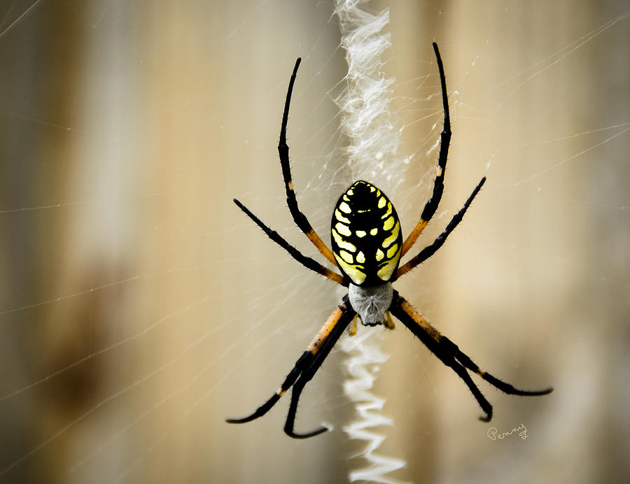 Argiope Aurantia Photograph - Zig Zag Is More Fun by Penny Lisowski