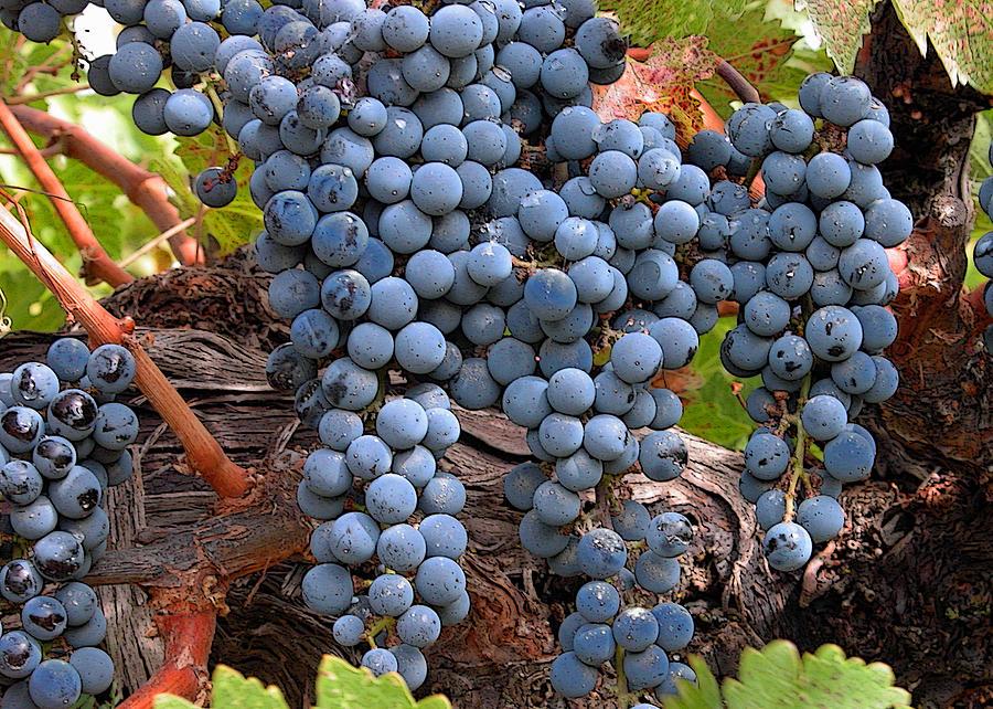 Grapes Photograph - Zinfandel Wine Grapes by Charlette Miller