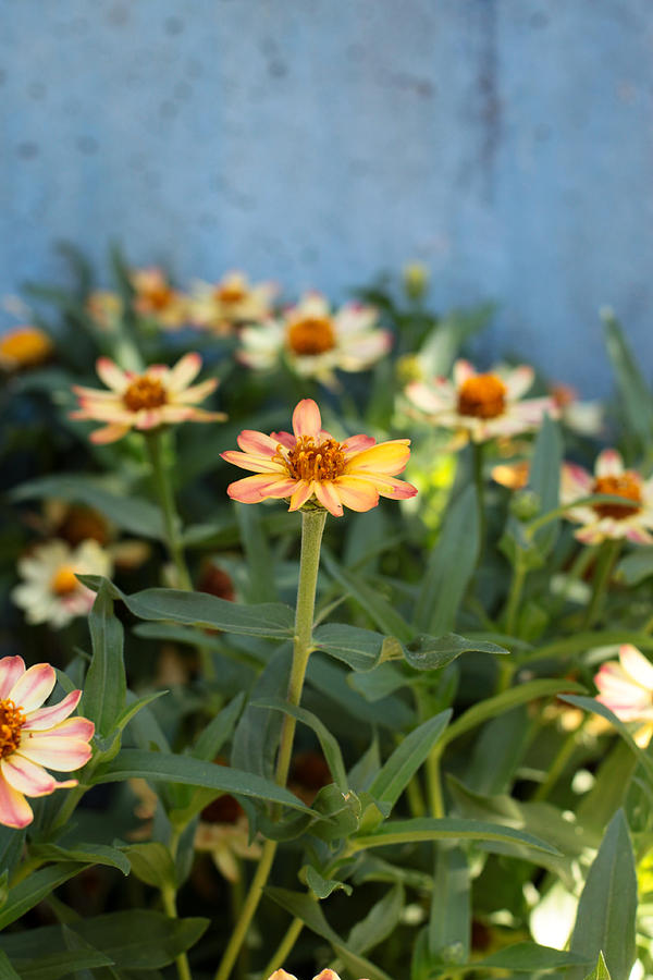 Zinnia Photograph - Zinnia by Denice Breaux
