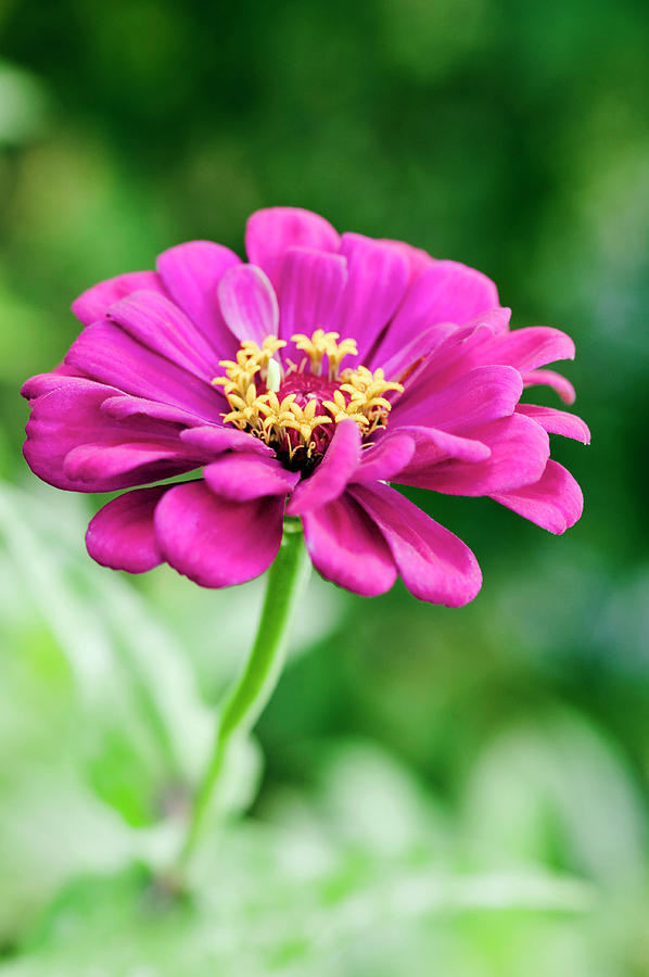 Plant Photograph - Zinnia Flower (zinnia Sp.) by Gustoimages/science Photo Library